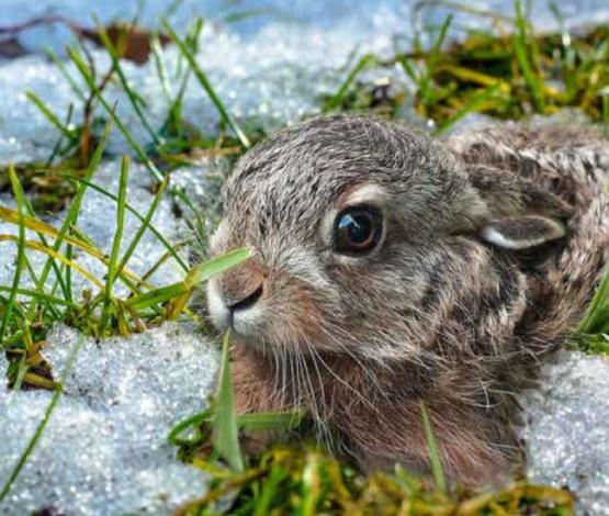 Zajíček ve sněhu